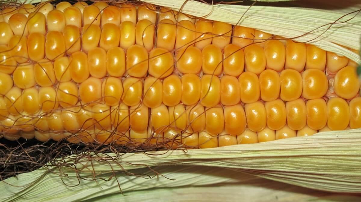 corn-190014_1280