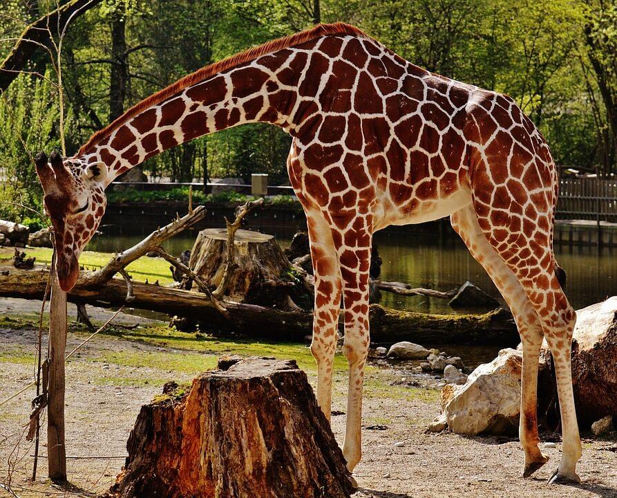 giraffe-1341640_960_720