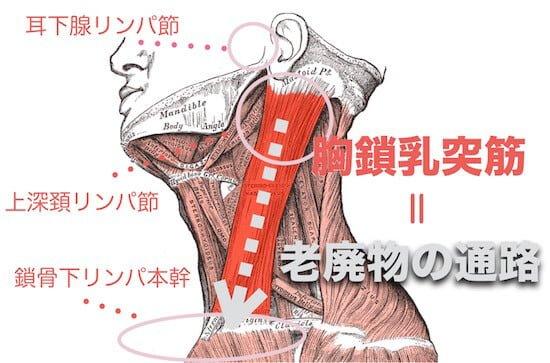 胸鎖乳突筋_リンパ節_老廃物